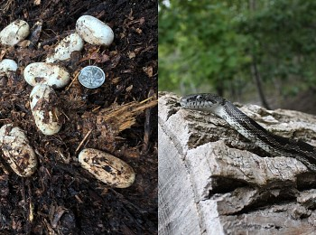 (2018-2021) Gray Ratsnake Habitat Construction and Monitoring
