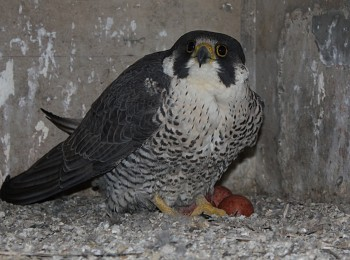 (2018-2019) Peregrine Falcon Nest Monitoring QEW - Henley Bridge Reconstruction